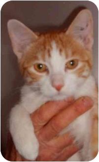 Domestic Shorthair Cat for adoption in Okotoks, Alberta - Cimarron