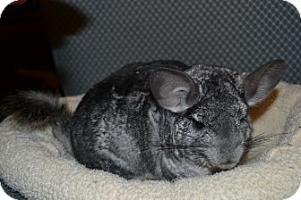 Chinchilla for adoption in Patchogue, New York - Zoey