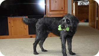 Labradoodle Mix Dog for adoption in La Crosse, Wisconsin - Chewy
