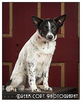 Cattle Dog Mix Dog for adoption in Owensboro, Kentucky - Hope