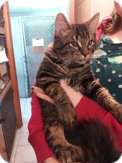 Domestic Mediumhair Cat for adoption in Aylmer, Ontario - Dash