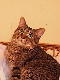 American Shorthair Cat for adoption in Cleveland, Ohio - Bobbi