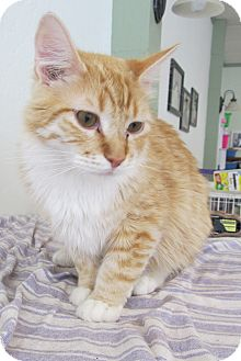 Domestic Mediumhair Cat for adoption in Oakland, Oregon - Miles