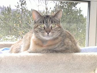 Domestic Shorthair Cat for adoption in Sparta, Wisconsin - Mae