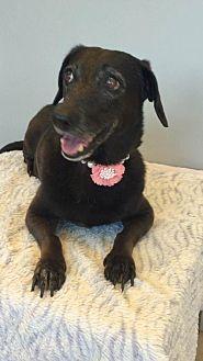 Dachshund Dog for adoption in Weston, Florida - Journey