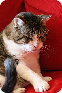 Domestic Shorthair Cat for adoption in Toronto, Ontario - Stewart McLovin'