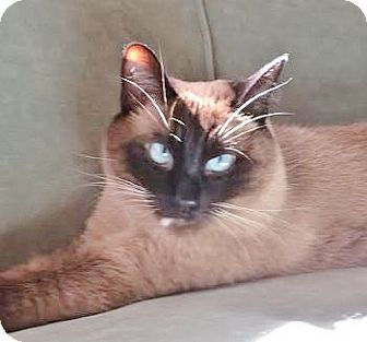Siamese Cat for adoption in Davis, California - Sparky