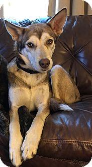 Husky Mix Dog for adoption in Bardonia, New York - Flora
