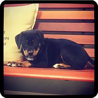 Rottweiler/Labrador Retriever Mix Puppy for adoption in Goodlettsville, Tennessee - June