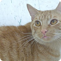 Domestic Shorthair Cat for adoption in Chambersburg, Pennsylvania - Zooey