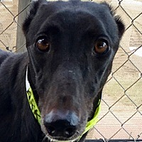 Adopt A Pet :: Flying Sandshark - Longwood, FL