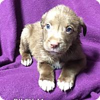 Adopt A Pet :: Riley - Trenton, NJ