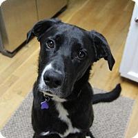 Adopt A Pet :: Opus - Littleton, CO