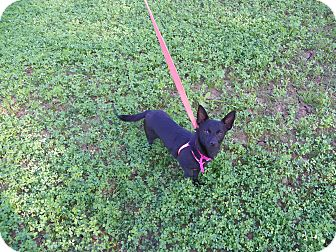 Schipperke/Chihuahua Mix Dog for adoption in Hesperus, Colorado - MINA