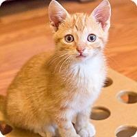 Adopt A Pet :: Scrambles - Chicago, IL