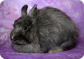 Jersey Wooly for adoption in Wilmington, North Carolina - Cupid