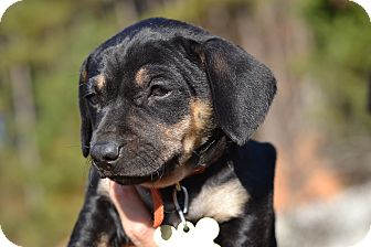 Dachshund Mix Puppy for adoption in Acworth, Georgia - Mesolithic - Stone Age Litter
