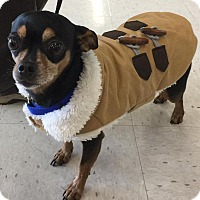 Miniature Pinscher/Chihuahua Mix Dog for adoption in Salem, Oregon - Paco