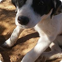 Adopt A Pet :: Zsa zsa - Tucson, AZ