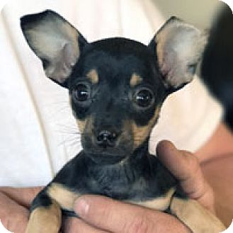 Miniature Pinscher Puppy for adoption in Pacific Grove, California - Bonnie Belle