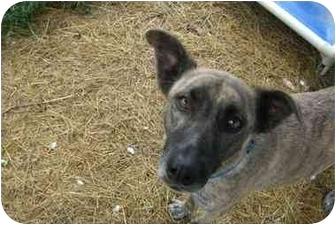 Greyhound/Catahoula Leopard Dog Mix Dog for adoption in Fair Oaks Ranch, Texas - Kiley