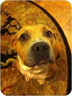 American Pit Bull Terrier Dog for adoption in Killen, Alabama - Honey Bee