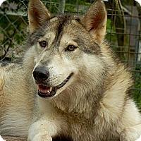 Adopt A Pet :: Wolfdog - Sage - Orlando, FL
