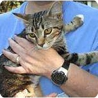 Domestic Shorthair Cat for adoption in Henderson, Kentucky - Ozzy