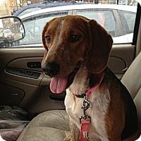 Adopt A Pet :: Candace - Glenview, IL