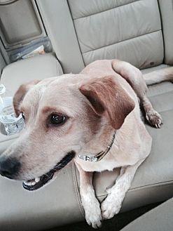 Retriever (Unknown Type) Mix Dog for adoption in Albemarle, North Carolina - Sasha
