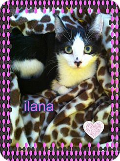 Domestic Shorthair Kitten for adoption in Los Angeles, California - Ilana