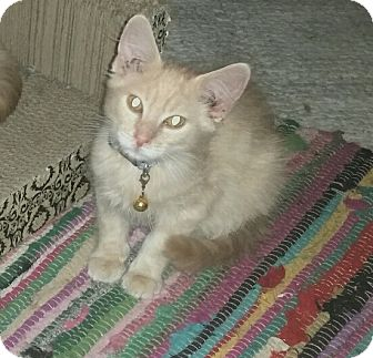 Domestic Longhair Kitten for adoption in Washington, North Carolina - AUSTIN