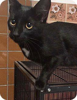 Domestic Shorthair Cat for adoption in THORNHILL, Ontario - Eden