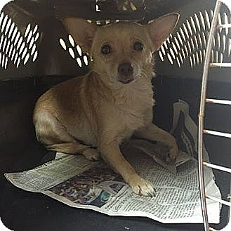 Chihuahua Mix Dog for adoption in Hagerstown, Maryland - Ronny ($200 adoption fee)