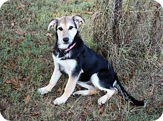 German Shepherd Dog Mix Puppy for adoption in Muldrow, Oklahoma - Andrea