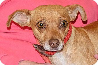 Chihuahua Mix Dog for adoption in Spokane, Washington - Parker