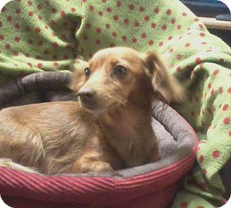 Dachshund Dog for adoption in Paris, Illinois - Ginger