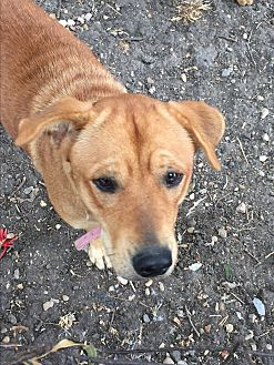 Rhodesian Ridgeback/Labrador Retriever Mix Dog for adoption in Dallas, Texas - Harley
