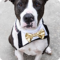 American Pit Bull Terrier Mix Dog for adoption in Hartford, Connecticut - Bo