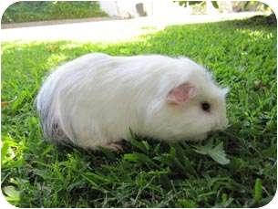 Guinea Pig for adoption in Fullerton, California - Dylan & Darfus