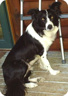 Border Collie Dog for adoption in cedar grove, Indiana - Trixie