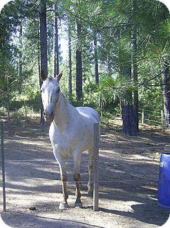 Appaloosa Mix for adoption in Elverta, California - Adopted Gunner