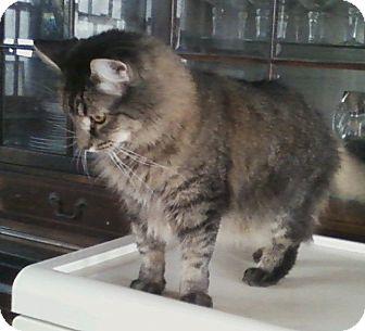 Domestic Longhair Cat for adoption in Warminster, Pennsylvania - Sophia