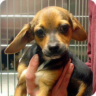 Beagle Mix Puppy for adoption in Greencastle, North Carolina - Bert