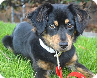King Charles Spaniel Mix Puppy for adoption in Los Angeles, California - Juno