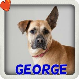 Shepherd (Unknown Type) Mix Dog for adoption in Middletown, New York - George
