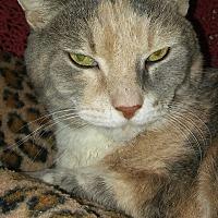 Calico Cat for adoption in Owenboro, Kentucky - LOLA!