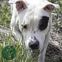 American Bulldog Mix Dog for adoption in Cincinnati, Ohio - Bambina