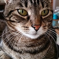 Domestic Shorthair Cat for adoption in Santa Ana, California - Prima