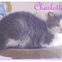 Domestic Mediumhair Cat for adoption in Culpeper, Virginia - Charlotte